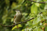 A Paradise Riflebird Perches in a Fruiting Dysoxylum Tree