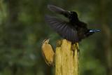 A Male Victoria's Riflebird Displays to a Female