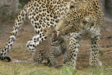 A Mother Leopard Grooming Her Cub