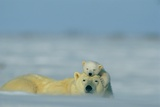 A Polar Bear Cub Finds a Peaceful Sleeping Spot On Its Mother's Head