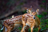 Two White-tailed Deer Fawns  Odocoileus Virginianus  in Their Habitat
