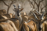 A Taurotragus Oryx Stands Out From the Crowd