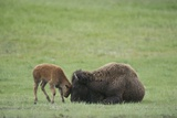 American Bison Calf Playfully Butts Heads with Mother