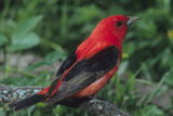 Portrait of a Male Scarlet Tanager  Piranga Olivacea