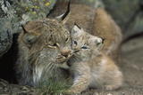 A Captive Female Lynx (Felis Lynx) and Her Young Cub