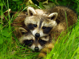 A Portrait of Two Raccoon Kits in Grass