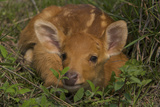 A Swamp Deer Fawn Hiding in Grass in Kaziranga National Park