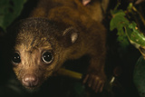 Close Up of the Face of a Curious-looking Kinkajou Pup(Potos Flavus)