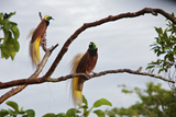 A Pair of Greater Birds of Paradise Perch in a Tree At Their Display Site