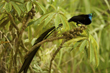 A Male Princess Stephanie's Astrapia Bird of Paradise Feeds On Schefflera Fruit