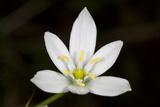 Close Up of a Grass Lily  Ornithogalum Umbellatum  Flower
