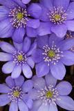 Close Up of a Cluster of Liverwort Flowers  Hepatica Nobilis