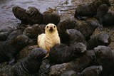 Antarctic Fur Seal Pups with One Blond Morph  Arctocephalus Gazella  South Georgia Islan