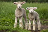 Portrait of Two Cute Baby Sibling Romney Lambs in a Green Pasture