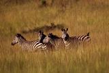 A Group of Plains Zebras  Equus Quagga  in a Grassland