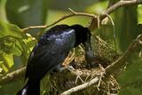 A Curl Crested Manucode Feeds Chicks At Nest