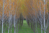 Cultivated Aspen  Populus Species  Hybrids Planted in Rows