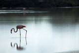 A Pink Flamingo Walks Through the Water Off Floreana Island