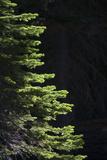 Backlit Conifer Trees Near Martin Meadow