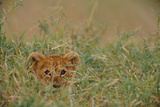 An African Lion (Panthera Leo) Cub Peers At the Camera Through the Grass
