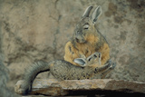 Baby Viscacha in Full Stretch in Front of Its Resting Mother