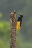 A Male Twelve Wired Bird of Paradise At His Display Pole