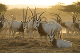 A Herd of Scimitar-horned Oryx On the Sir Bani Yas Island Reserve