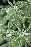 Water Drops On Lupines in a Year-old Burn Area Near Yellowstone Lake