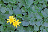 Lesser Celandine  Ficaria Verna  in Bloom