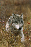A Roaming Alpha Male Gray Wolf