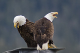 Bald Eagles Perched On a Dock Piling in Juneau Harbor  Calling