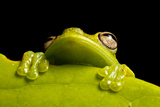 A Treefrog  Hyloscirtus Sp  Peers From Behind a Leaf