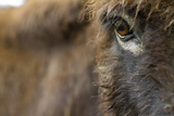 Close Up Portrait of a Miniature Sicilian Donkey Face and Eye Staring