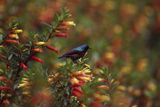 A Red-chested Sunbird  Nectarinia Erythrocerca  Among Flowers