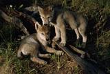 Gray Wolf Litter Mates