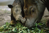 A Captive Sumatran Rhinoceros and Her Calf Feeding On Tree Branches
