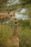 A Mother and Juvenile Giraffe  Giraffa Camelopardalis  Among Acacias