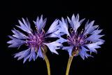 Close Up of a Cornflower Or Batchelor Button Flower  Centaurea Cyanus