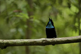 A Male Magnificent Riflebird Calling From His Display Vine