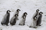 Emperor Penguin Chicks Roaming  Aptenodytes Forsteri  Weddell Sea  Antarctic