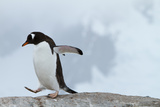 A Gentoo Penguin Walking a Rock
