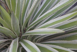 Close Up of the Spiny Leaves of a Yucca Plant  Yucca Species