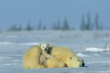 A Sleepy Polar Bear Mother (Ursus Maritimus) Serves As a Protective Bed for Her Cub