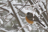 An American Robin  Turdus Migratorius  in a Tree During a Snowstorm