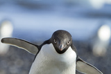 An Adelie Penguin Uses Its Wings As Balance On Rocky Terrain