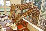 Rothschild Giraffes with Heads Through a Window  Eating From a Table