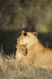 A Lion Cub Nestles Against Its Mother