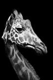 Close Up Portrait of an Endangered Rothschild Giraffe