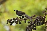 A Female Plumaged Huon Astrapia Bird of Paradise Feeds On Schefflera Fruit