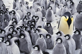 Emperor Penguin with Chicks  Aptenodytes Forsteri  Antarctic